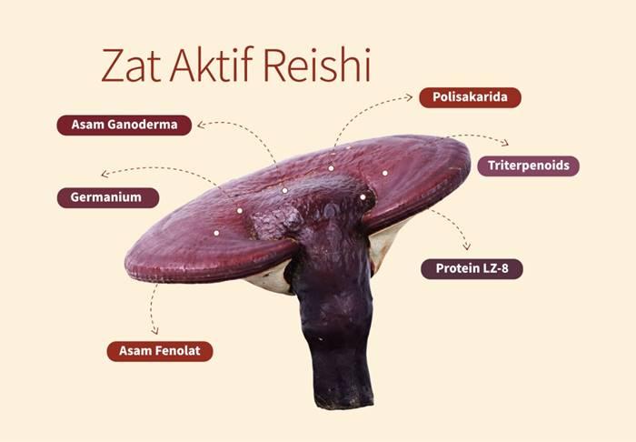 komponen-aktif-jamur-reishi-atau-lingzhi