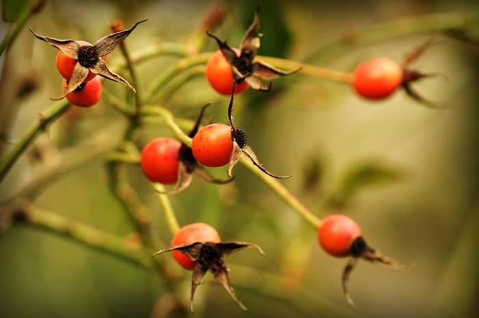 tanaman-rosehip-bantu-hilangkan-bekas-jerawat