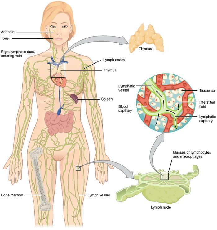 inilah-cara-kerja-sistem-imun-tubuh-yang-perlu-dipahami-lingzhi-japan-anatomi