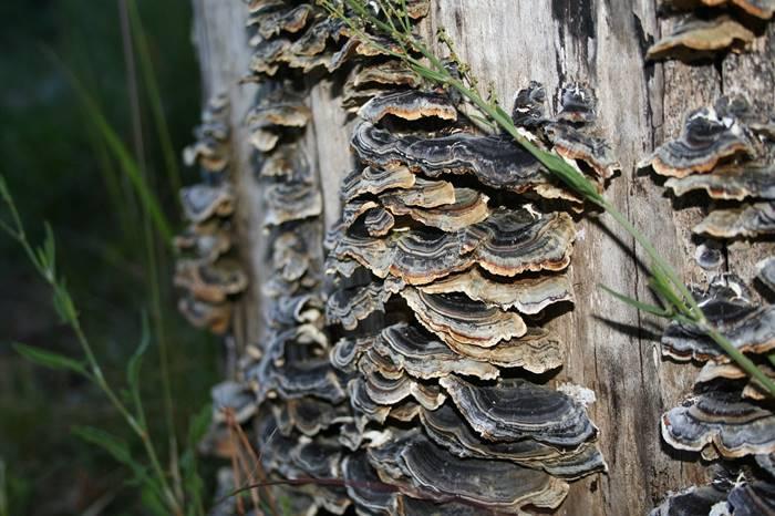 6-jamur-obat-yang-bertindak-sebagai-imunomodulator-lingzhi-japan-ekor-kalkun